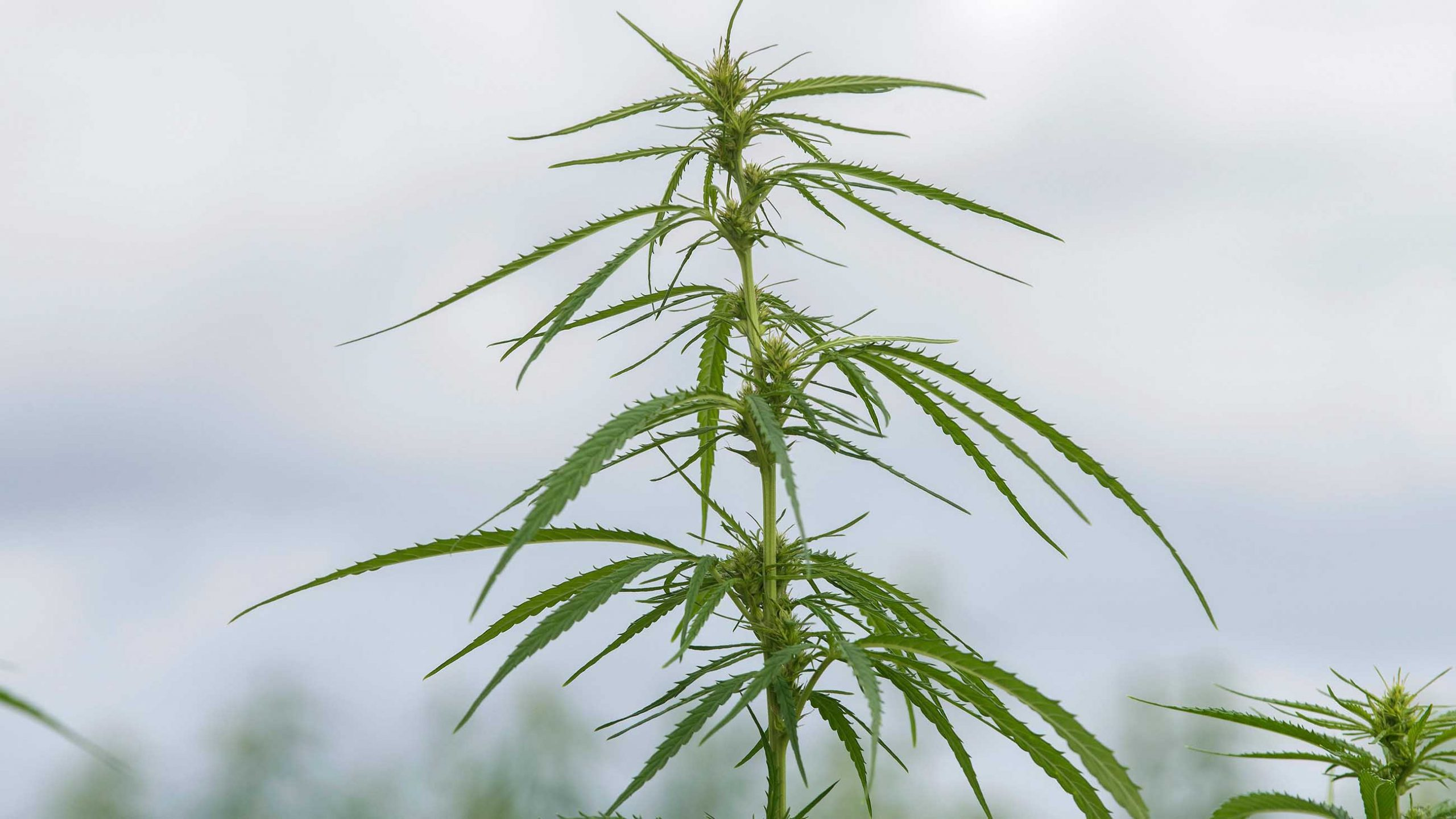 drinks at your local pub may come from hemp